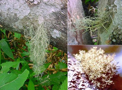 キブノリ 木生海苔